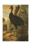 A Cassowary