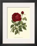 Magnificent Rose IV
