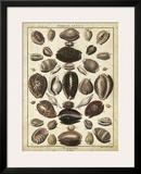 Cowrie Shells II