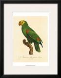 Barraband Parrot No 86