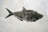 Diplomistus Fish Fossil