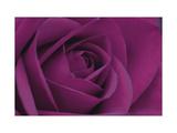 Persian Purple Rose