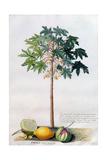 Pawpaw Tree  1742