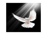A Free Flying White Dove Isolated On A Black Background Reproduction d'art par Irochka