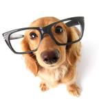 Funny Little Dachshund Wearing Glasses Distorted By Wide Angle Closeup Focus On The Eyes