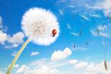 Ladybug On A Dandelion On A Background Of The Sky