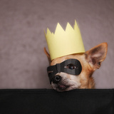 A Cute Chihuahua With A Crown And Mask On