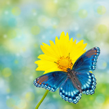 Red-Spotted Purple Admiral On Yellow Coreopsis Flower