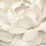 Abstract Macro Shot Of Beautiful Cream Rose Flower With Water Drops Floral Background