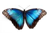 Butterfly Morpho Rhetenor Cacica Isolated Over White Background