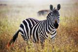 Zebra Portrait On African Savanna Safari In Serengeti  Tanzania