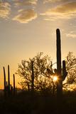 Saguaro Forest at Sunset  Saguaro National Park  Arizona  USA
