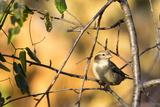 House Sparrow in Defiance  Ohio  USA