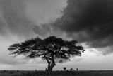 Acacia Tree  Serengeti National Park  Tanzania