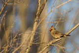 Adult Female Eastern Northern Cardinal in Defiance  Ohio  USA