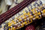 Fall Harvest Colorful Indian Corn  California  USA
