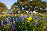 Wildflowers and Live Oak in Texas Hill Country  Texas  USA