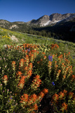 Meadow Wildflowers  Little Cottonwood Canyon  Albion Basin  Utah  USA