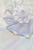 Close-Up of Pastel Seashell  Washington  USA