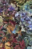 Hydrangeas in Garden  Portland  Oregon  USA