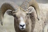 Bighorn Ram  Bighorn Sheep  Yellowstone National Park  Wyoming  USA