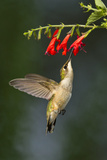 Ruby-Throated Hummingbird (Archilochus Colubris) Feeding  Texas  USA