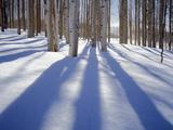Dixie National Forest Aspens in Winter  Utah  USA