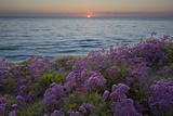 Flowers at Sunset  Del Mar Coast California  USA