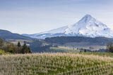 Apple Orchard in Blood with Mount Hood in the Background  Oregon  USA