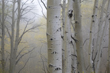 Aspen Trees  Dixie National Forest Boulder Mountain  Utah  USA