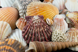 Detail of Seashells from around the World Papier Photo par Cindy Miller Hopkins