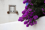 Bougainvillea Blooming in the Town of Obidos  Portugal