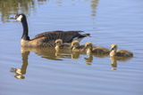 Canada Goose with Chicks  San Francisco Bay  California  USA