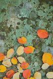 Western Serviceberry Leaves on Lichen  Riverside Sp  Washington  USA
