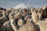 Cotopaxi Volcano and Alpacas, Cotopaxi National Park, Andes, Ecuador Papier Photo par Pete Oxford