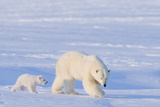 Polar Bear with Spring Cub, ANWR, Alaska, USA Papier Photo par Steve Kazlowski