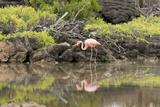 Greater Flamingo in Lagoon  Santa Cruz Island  Galapagos  Ecuador