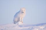 Arctic Fox Adult Pauses on a Snow Bank  ANWR  Alaska  USA