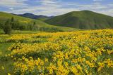 Arrowleaf Balsam Root  Winthrop  Methow Valley  Washington  USA