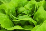 Organic Lettuce in a Green House  Savannah  Georgia  USA