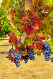 Cabernet Sauvignon Grapes in Columbia Valley  Washington  USA