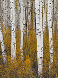 Aspens in Gunnison National Forest Colorado  USA