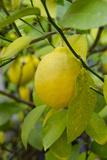 Bright Yellow Lemon on the Tree  California  USA