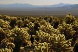 Cholla Cactus Garden  Joshua Tree National Park  California  USA
