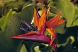 Bird of Paradise Blooming on the Garden Isle  Kauai  Hawaii  USA