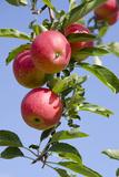 Beautiful Red Apples  Lafayette  New York  USA