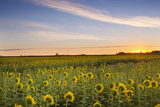 Sunflower Field in Morning Light in Michigan  North Dakota  USA