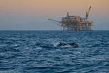 Dolphin Pod Leap Near Oil Derrick  Catalina Channel  California  USA