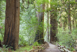 Trail Through Muir Woods National Monument  California  USA