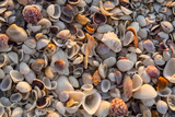 Seashells on Sanibel Island  Florida  USA